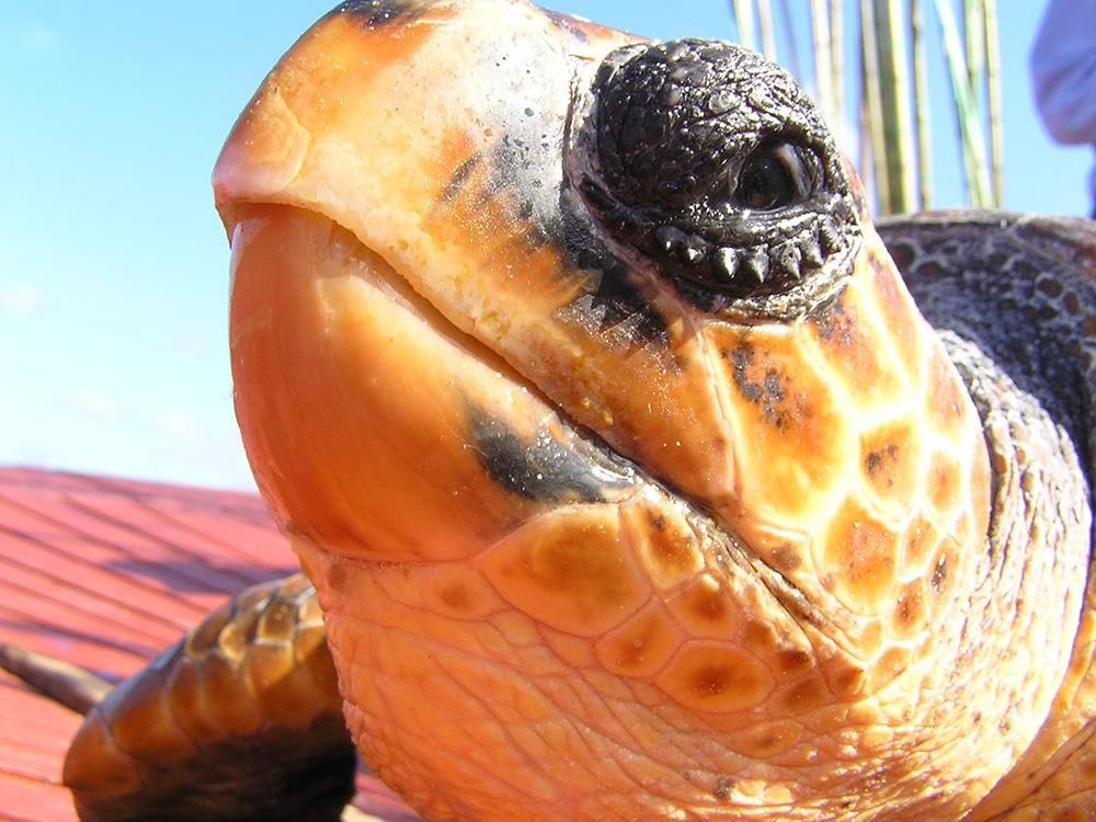 Tartaruga marinha (boba) recolhida para marcação pelo observador de pescas do POPA Franklin Tavares